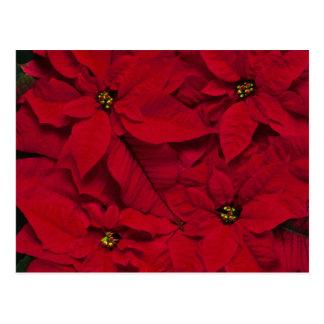 Feiertags-helle rote Poinsettias Postkarte