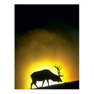 Felsiger Gebirgsstierelche, Yellowstone Postkarte
