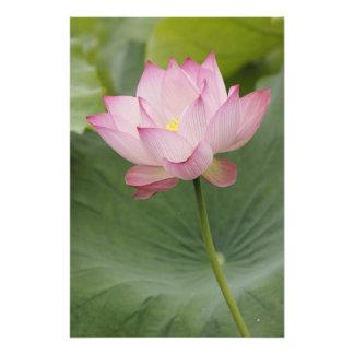 Fermez-vous de la fleur de Lotus, du nucifera de N Tirage Photo