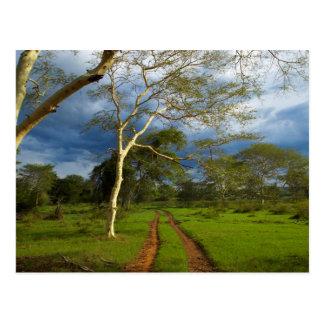 Fieber-Baum (Akazie Xanthophloea) durch Sandbahn Postkarte