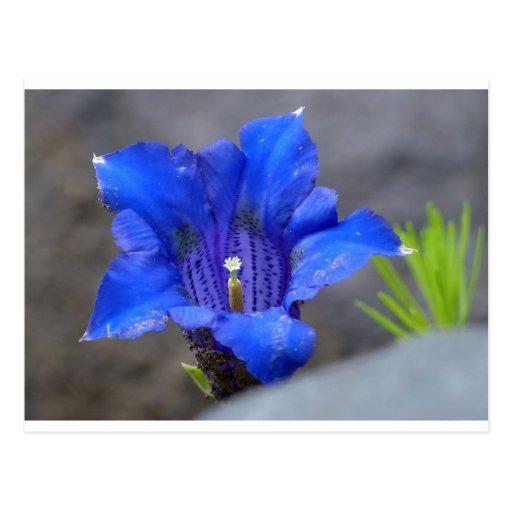 Fleur alpine bleue d'Enzian Cartes Postales