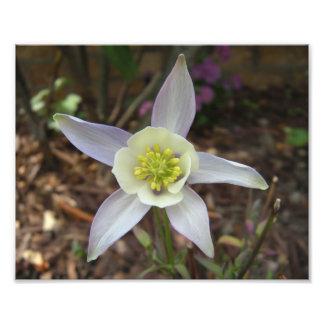 Fleur de Columbine Photographie D'art