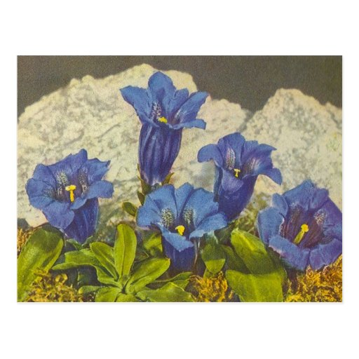 Fleur de gentiane carte postale