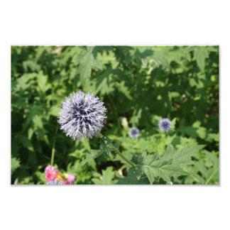 fleur de lavande  tirage photo