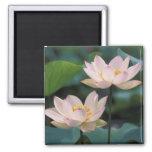 Fleur de Lotus dans la fleur, Chine Magnets Pour Réfrigérateur