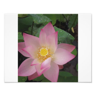 Fleur de Lotus rose Photo D'art