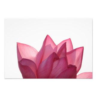 Fleur de Lotus [speciosum de Nelumbio] entièrement Photographie