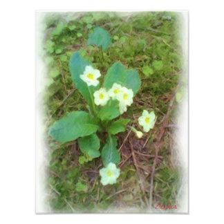 fleur de primevère photographie