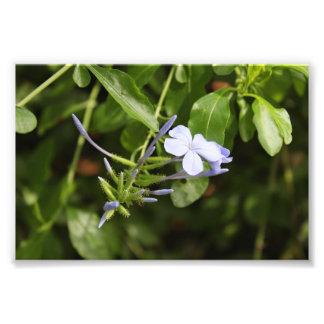 Fleur de Purpled Tirage Photo