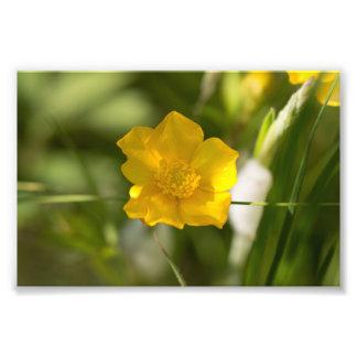 Fleur de renoncule impressions photo