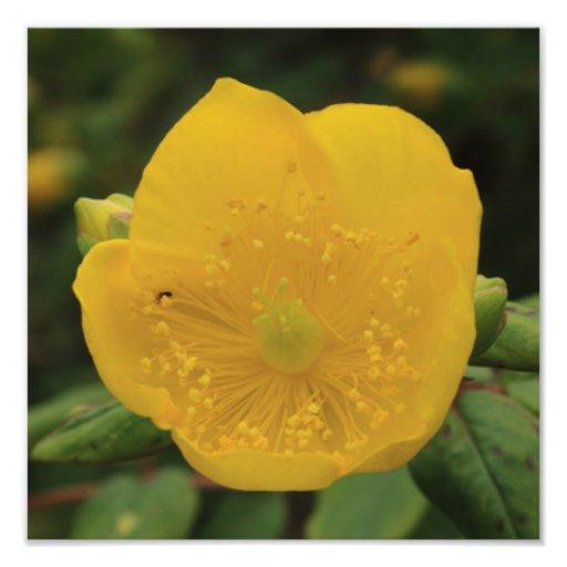 Fleur du moût de St John Photos D'art