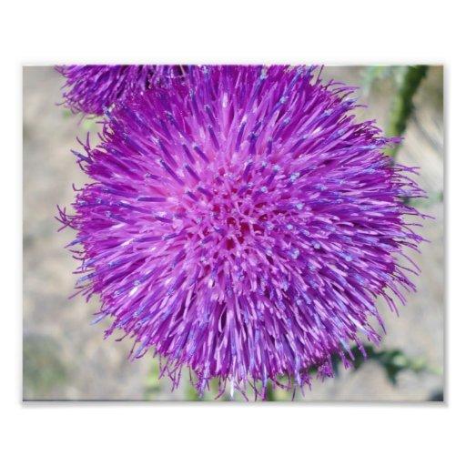 fleur pourpre photographies