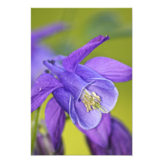 Fleur pourpre simple de Columbine Photo D'art