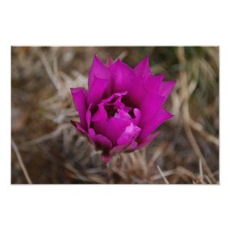 Fleur pourpre solitaire de cactus photographie d'art