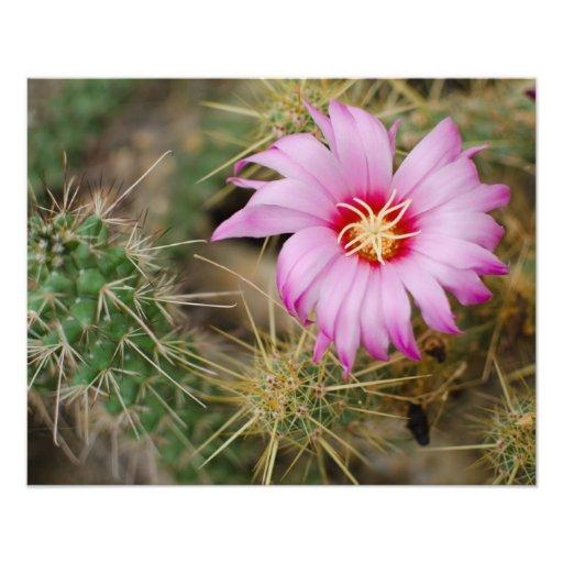 Fleur rose de cactus photo sur toile