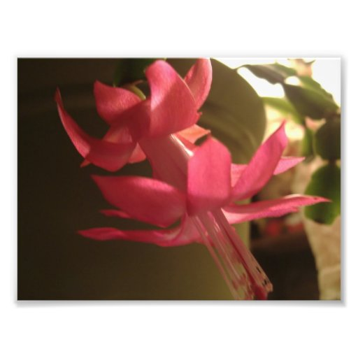 Fleur rose de cactus de Noël Photographe