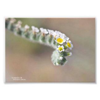 Fleur sauvage de la Chypre Photos Sur Toile