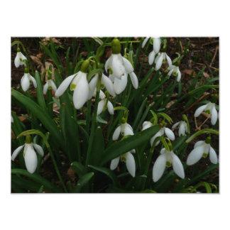 Fleurs blanches de ressort des perce-neiges I Photographie