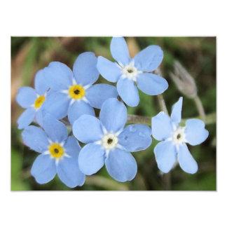 fleurs bleues minuscules photographie