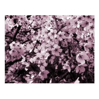 Fleurs de cerisier cartes postales
