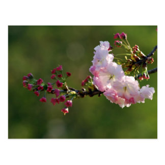 Fleurs de cerisier carte postale
