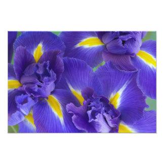 Fleurs d'iris photo d'art