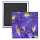 Fleurs d'iris aimants
