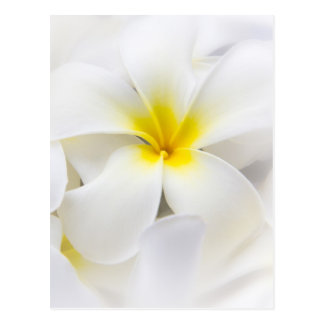 Fleurs florales de Plumeria de Frangipani blanc de Carte Postale