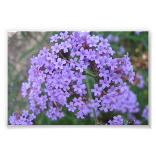 Fleurs pourpres photographe