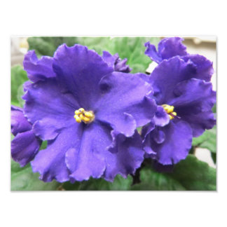 Fleurs pourpres de violette africaine impression photo