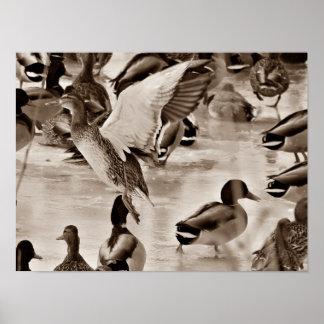Fliegen-Enten-Stockenten-Plakat im Sepia Poster