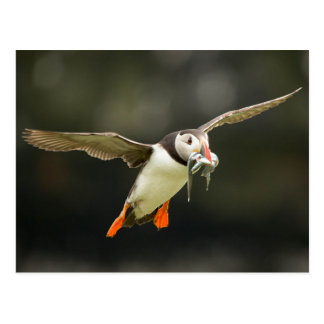 Flying Atlantic Puffin with fish in beak Postkarte