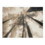 Forêt de séquoia, la Californie du nord Carte Postale
