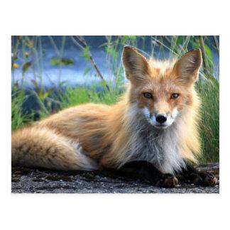 Fotoporträtpostkarte des roten Fuchses schöne Postkarte