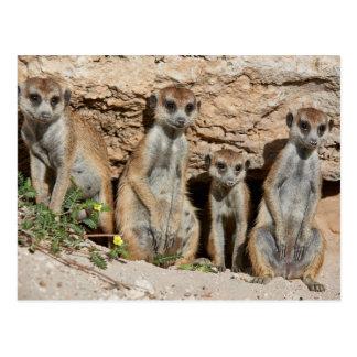 four funny meerkat oder suricate, Kalahari Postkarte