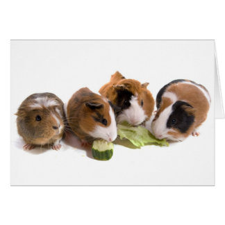 four guinea pigs who eat, karte