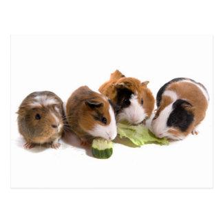 four guinea pigs who eat, postkarte