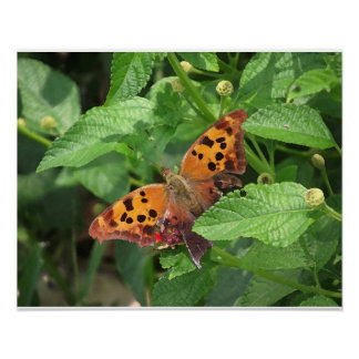 Fragezeichen-Schmetterling auf Lantana Poster