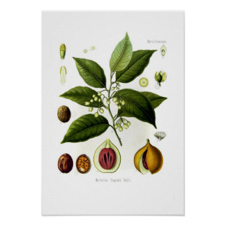 Fragrans de Myristica (noix de muscade) Poster