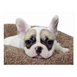 Französische Bulldoggen-Welpe, der in einem Postkarte