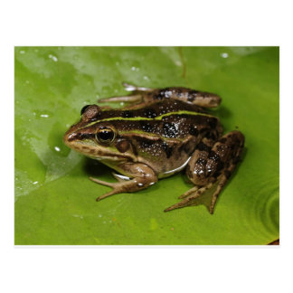 Frosch-/Kröten-Postkarte Postkarte