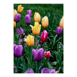 Frühlings-Blumen-Tulpe-Rosa-Gelb-lila Garten Poster