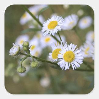 Gänseblümchen Fleabane Wildblume-Aufkleber Quadrat-Aufkleber
