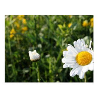 Gänseblümchen im Gras Postkarte