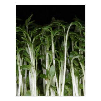 Garten-Kresse-Lepidium Sativum Postkarte