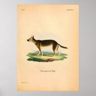 Gebürtiger Fox - Australien - Illustration circa Poster