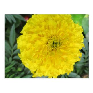 Gelbe Pompom-Ringelblume Postkarte