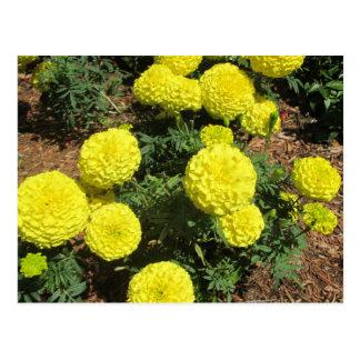 Gelbe Pompom-Ringelblumen-Garten-Pflanzen Postkarten