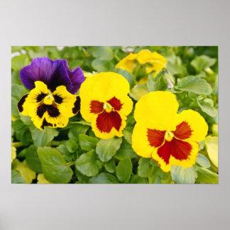 gelbe Stiefmütterchen-Blumen Poster