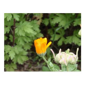 Gelbe und orange Ringelblume Postkarte